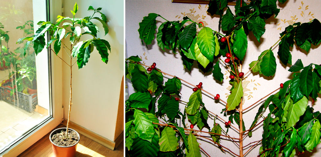 Дерево кофе арабика в домашних условиях 187