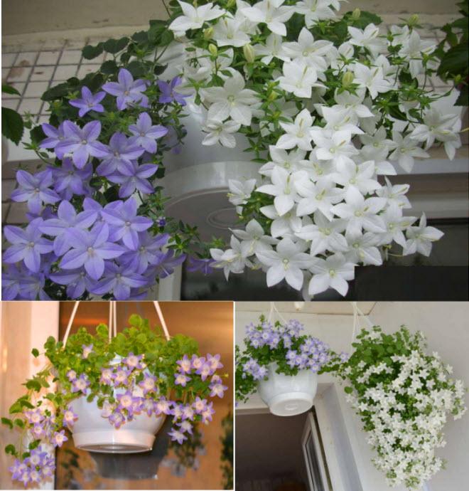 Невеста цветок уход в домашних условиях фото 407