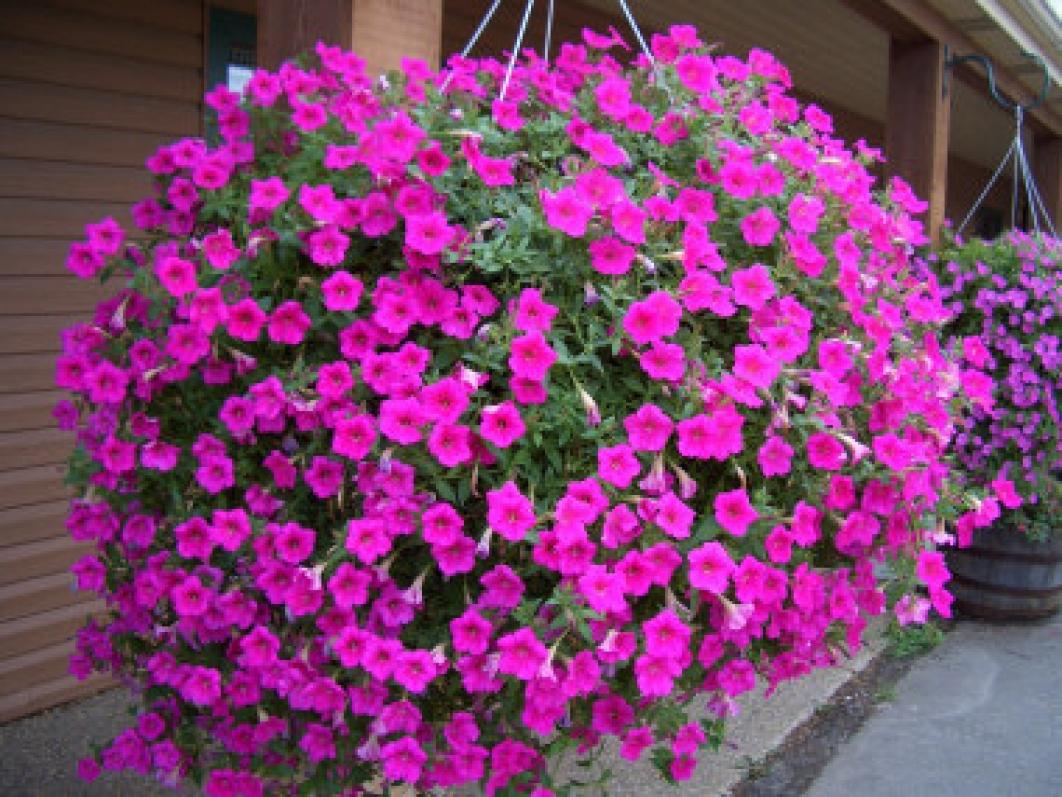 Цветы петунья