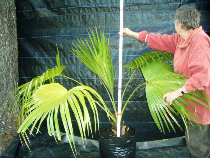 Правильный уход за пальмами в домашних условиях