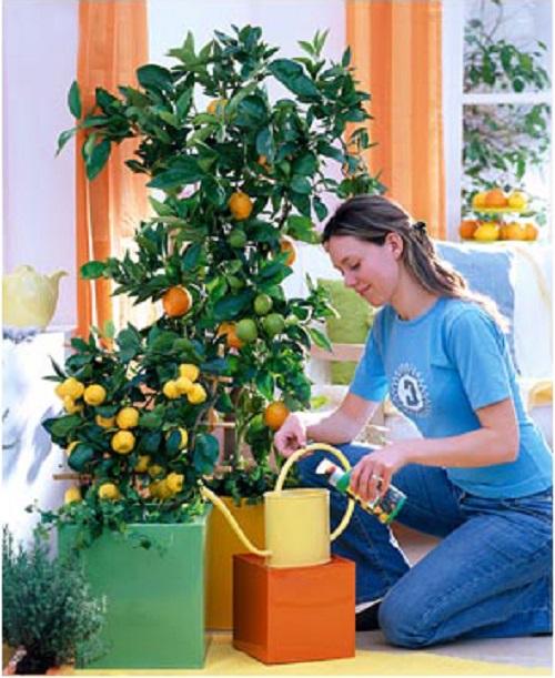 Выращивание и уход за домашними лимонами
