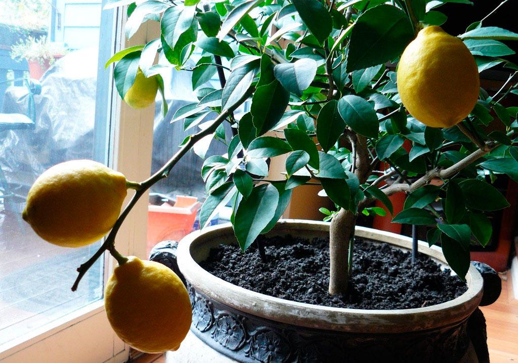 Выращивание лимонов и уход в домашних условиях 41