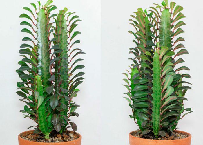 Молочай треугольный (Euphorbia trigona)