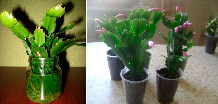 Размножение в домашних условиях цветка декабрист 518