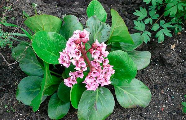 Бадун или бодун цветок