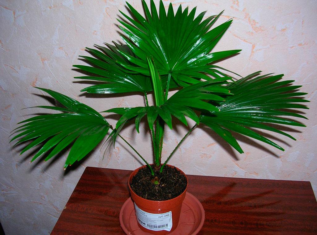 Комнатная пальма : фото и названия видов, как ухаживать 4