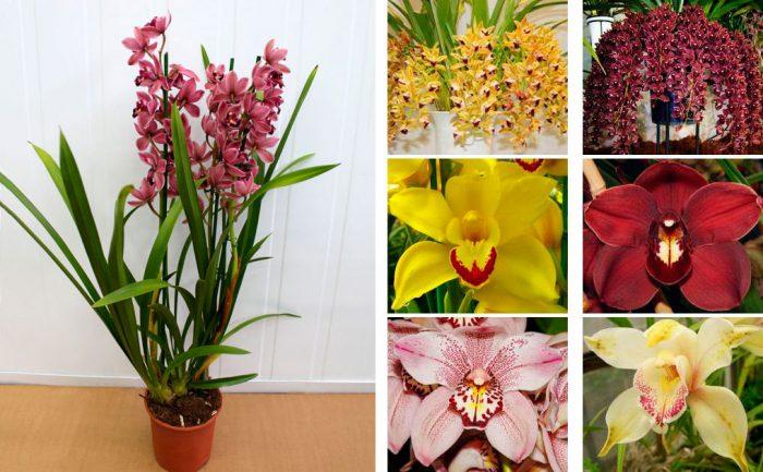 Орхидеи цимбидиум уход за ними в домашних