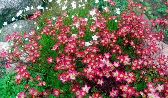Цветы стелющиеся по земле ковром