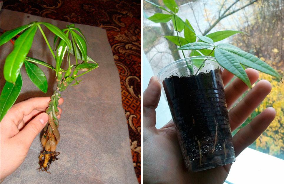 Выращивание пахиры в домашних условиях 54