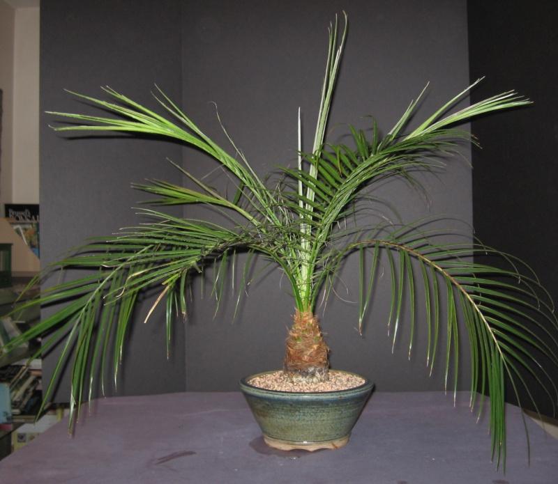 Как ухаживать за домашней пальмой в домашних условиях 514