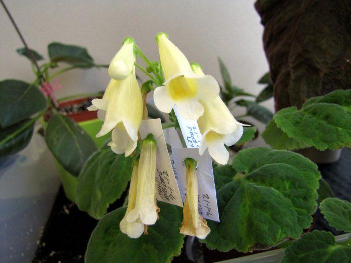 Смитианта многоцветковая (Smithiantha multiflora)