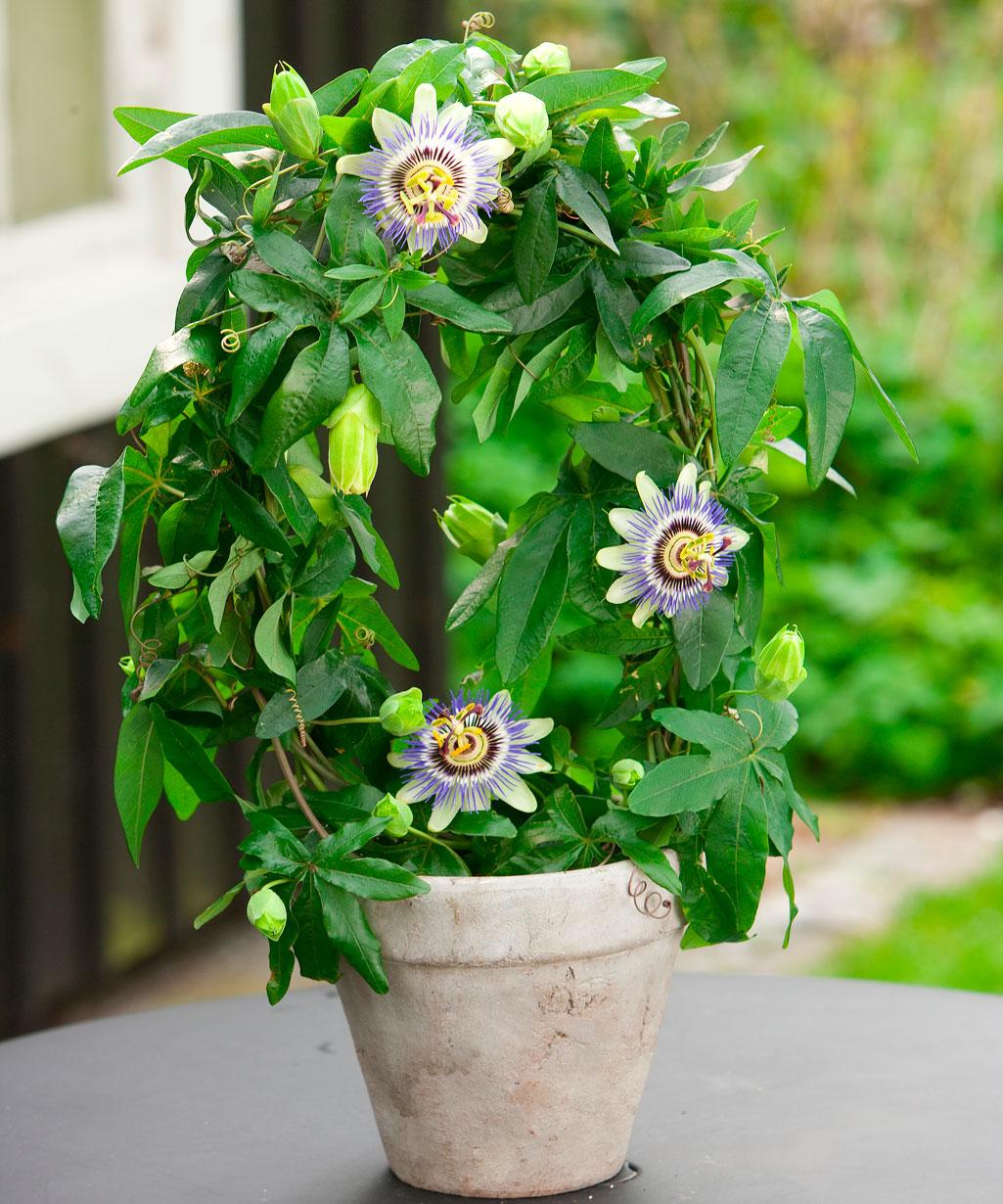 Почему не цветет пассифлора в домашних условиях 230