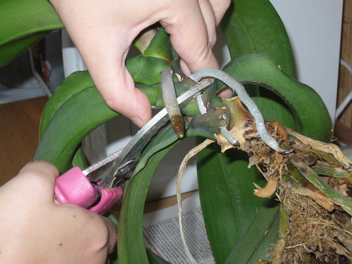 Орхидея с фаленопсис уход в домашних условиях - Ubolussur.ru