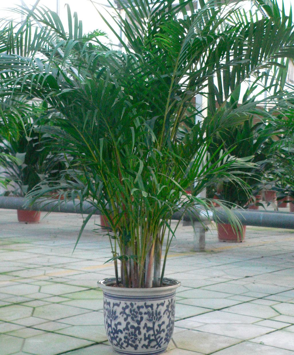Домашние цветы виде пальмы