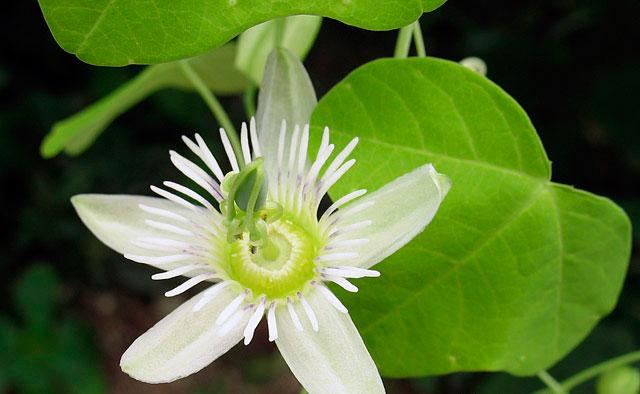 Пассифлора грациевидная (Passiflora gracilis)