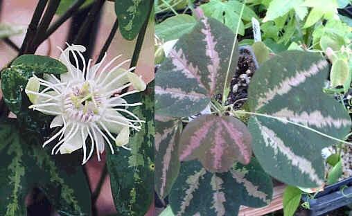 Пассифлора трехполосая (Passiflora trifasciata)