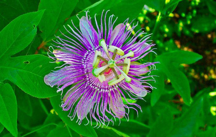 Пассифлора инкарната (Passiflora incarnata)