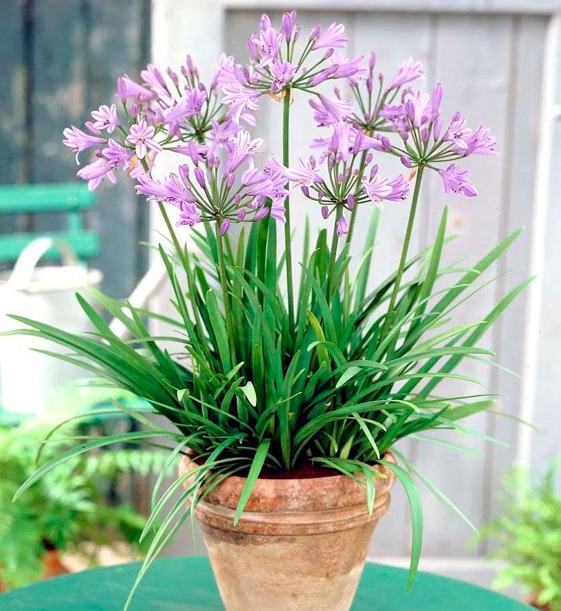Агапантус выращивание из семян в домашних условиях 62