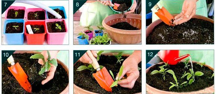 Как сеять флоксы на рассаду в домашних условиях 79