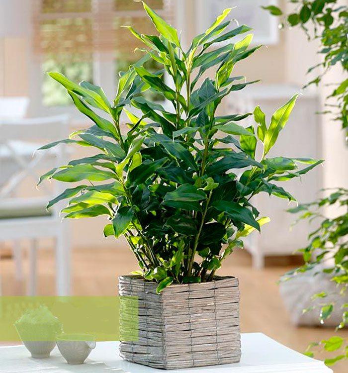 Вырастить кардамон в домашних условиях