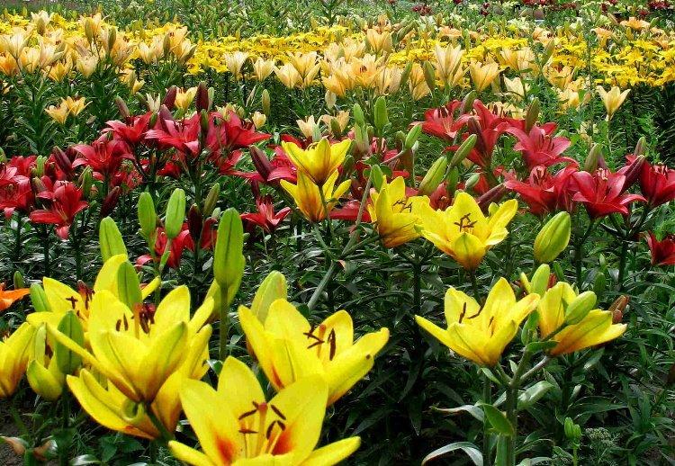 Сажают ли лилии в августе 677