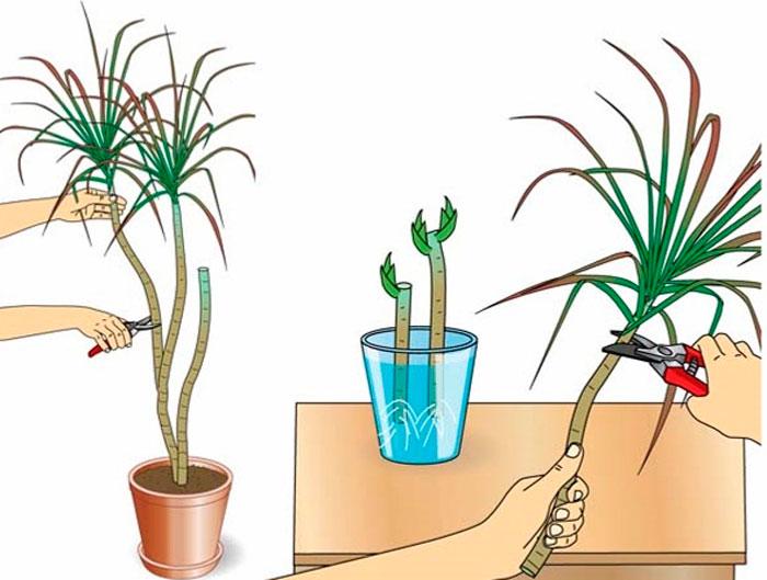 Драцена виды уход и размножение в домашних условиях