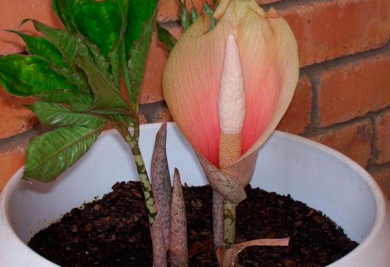 Цветок аморфофаллус в домашних условиях