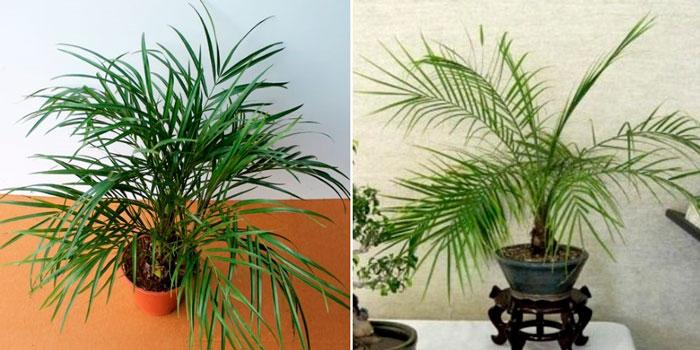 В какой горшок сажать финиковую пальму 20