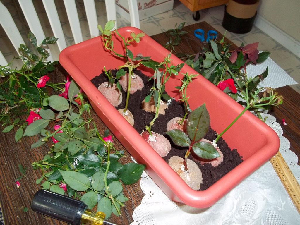 Уникальный способ выращивания розы в картошке! идея на милли.