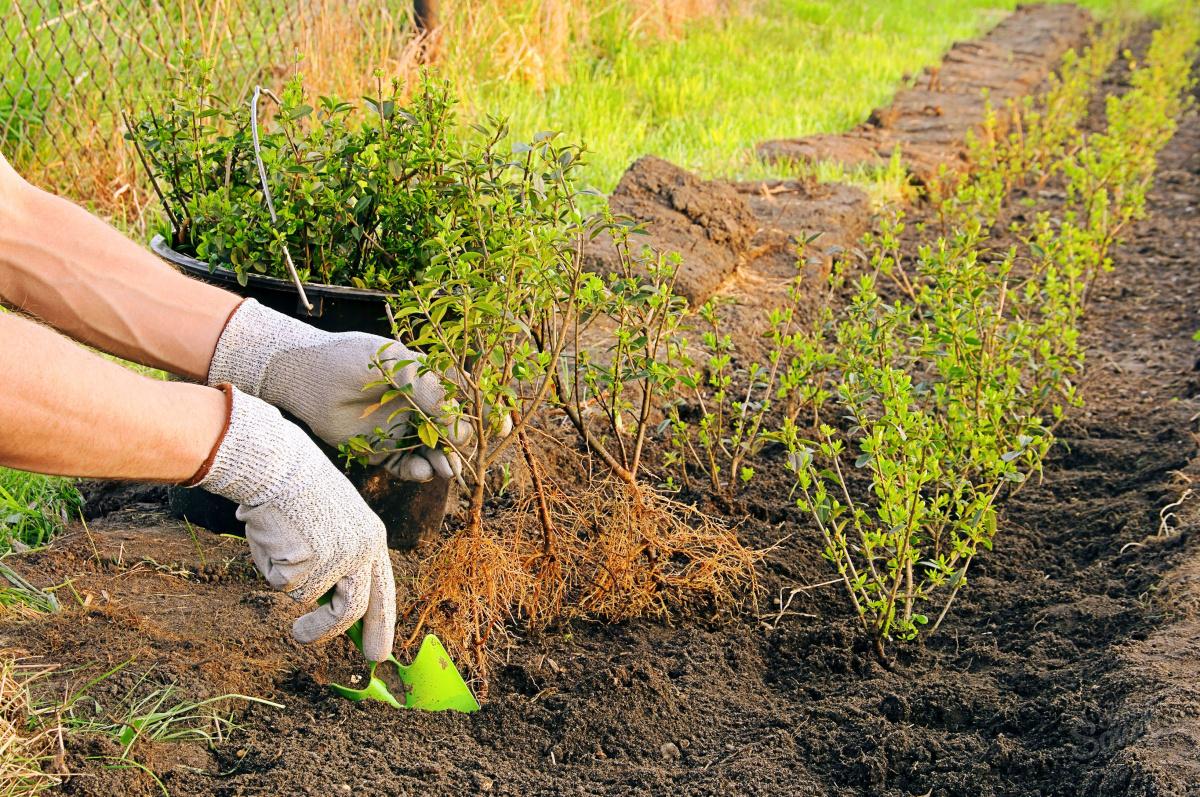 Когда сажают кустарники в саду