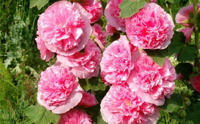 Цветок шток роза выращивание из семян 54