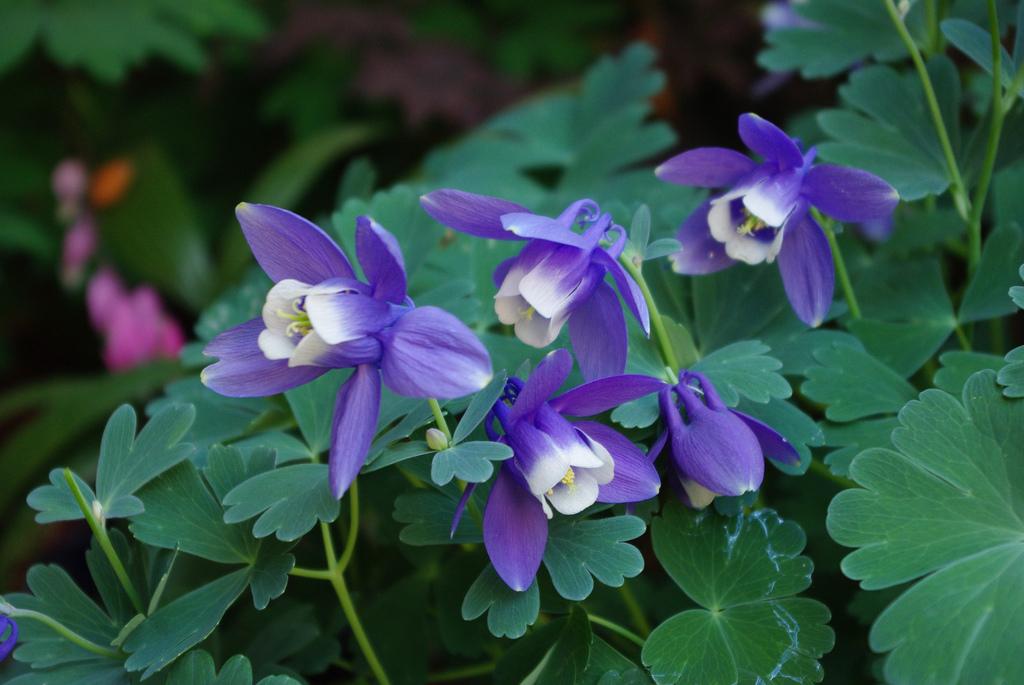 Цветок аквилегия описание
