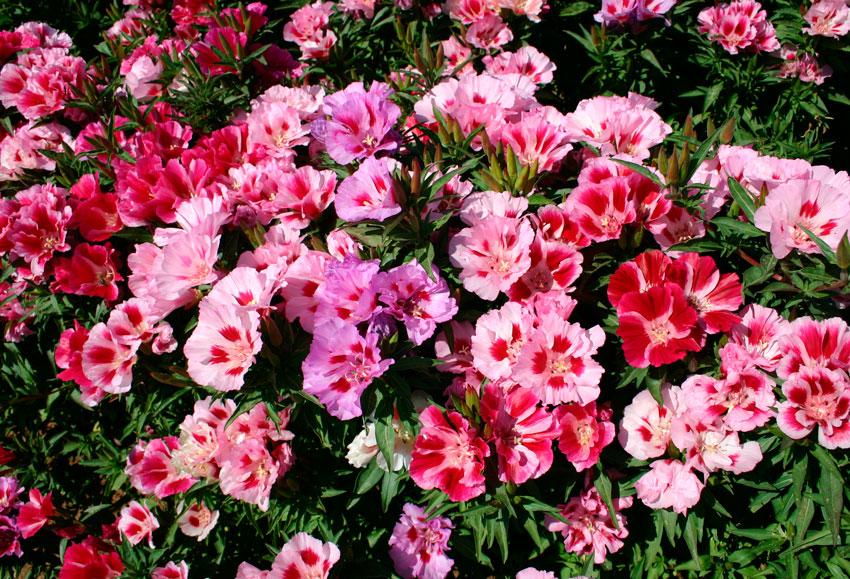 Цветы годеция когда сажать 698