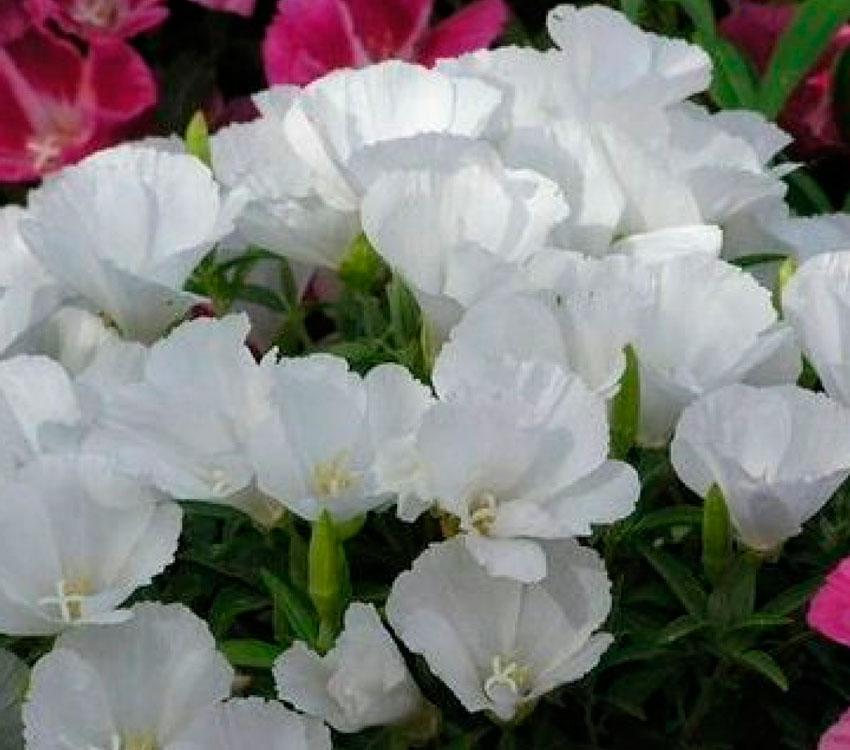 Цветы годеция когда сажать 738
