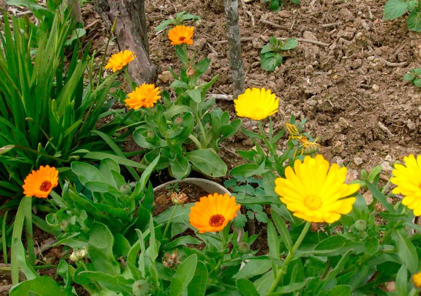 Календула цветок выращивание 16