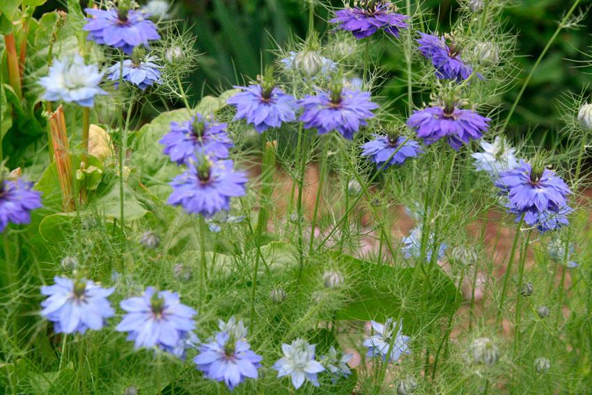 Нигелла альбина выращивание из семян 27