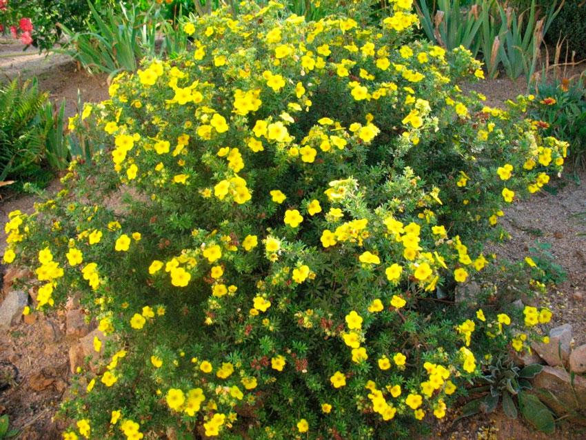 Лапчатка кустарниковая уход и выращивание полезные свойства 91