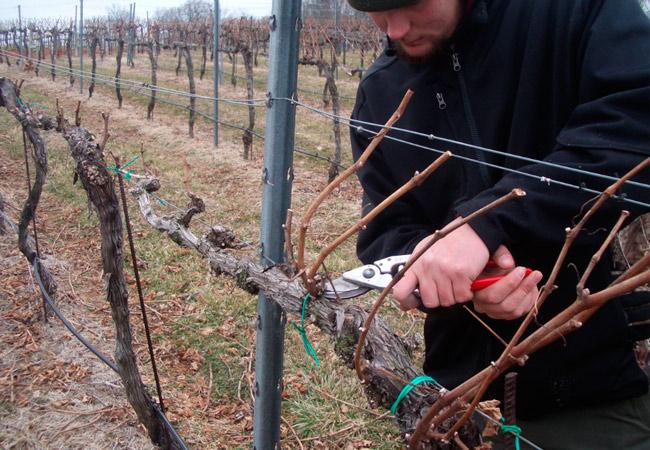 Выращивание винограда и обрезка 302