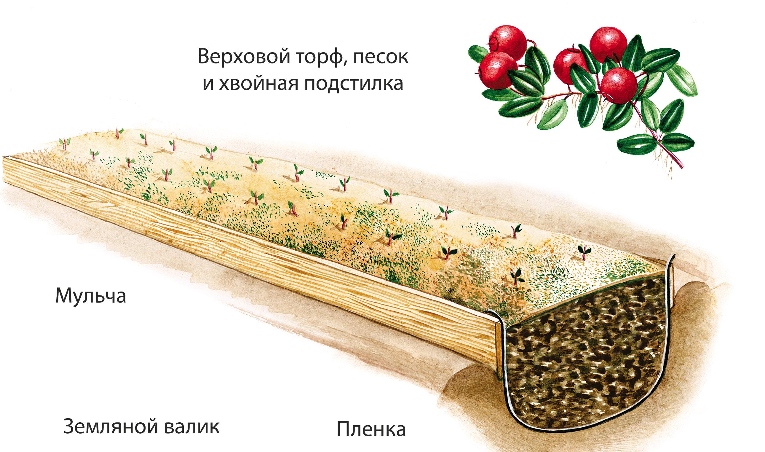 Клюква: сорта, выращивание и уход 75