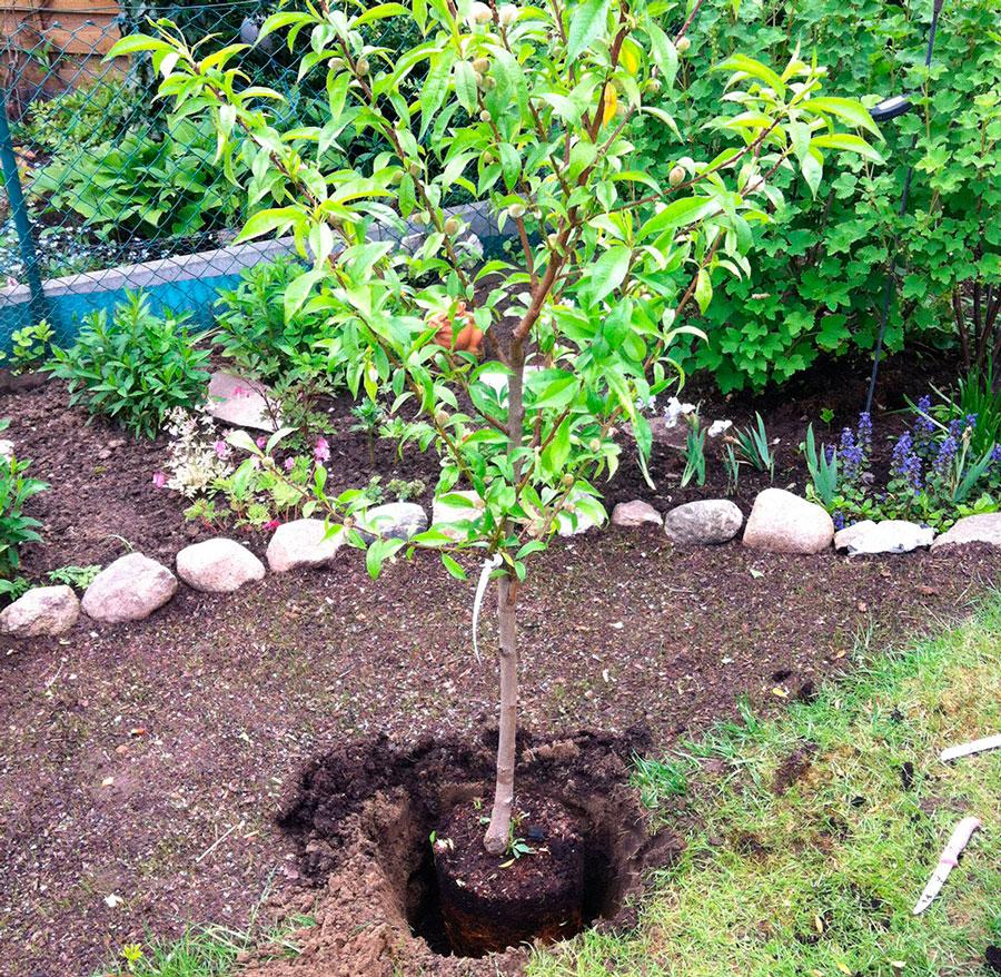 Выращивание персика в Подмосковье Сайт о саде, даче и 79
