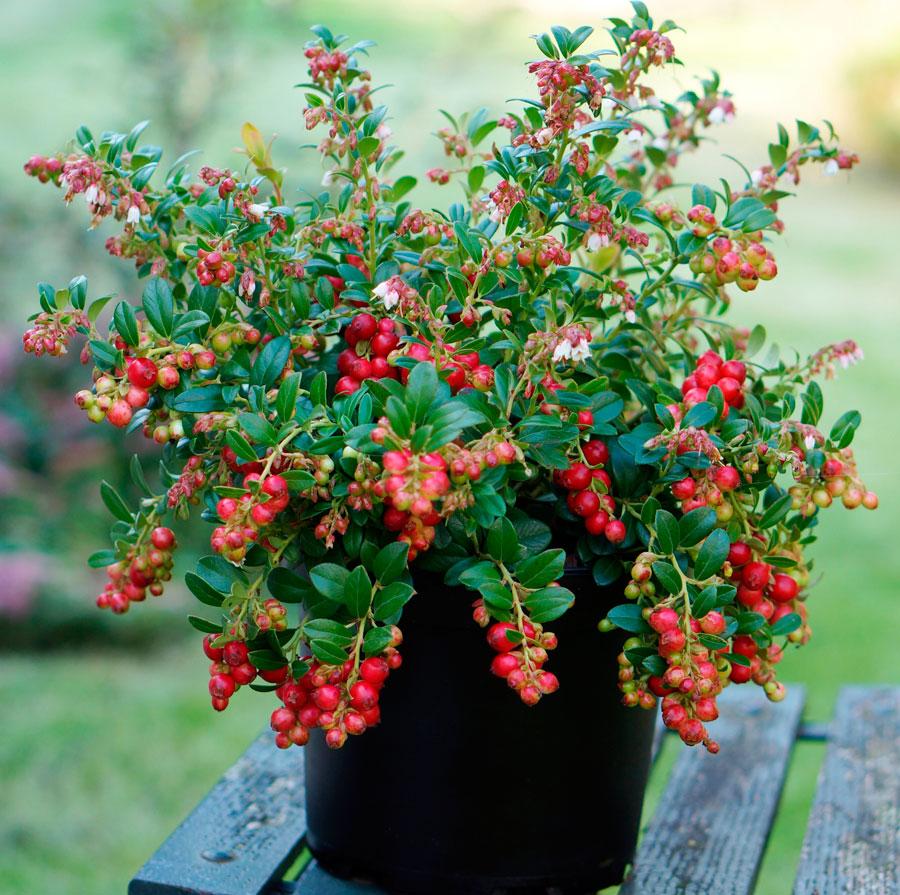 Брусника в саду выращивание 59