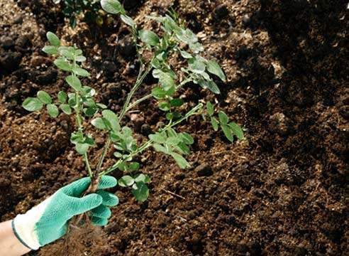 Посадить шиповник осенью
