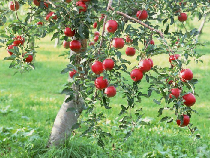 Выращивание низкорослых яблонь 35