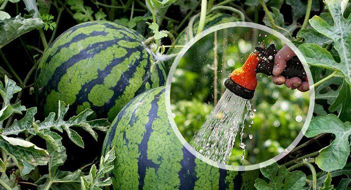 Арбуз выращивание открытым грунт 76